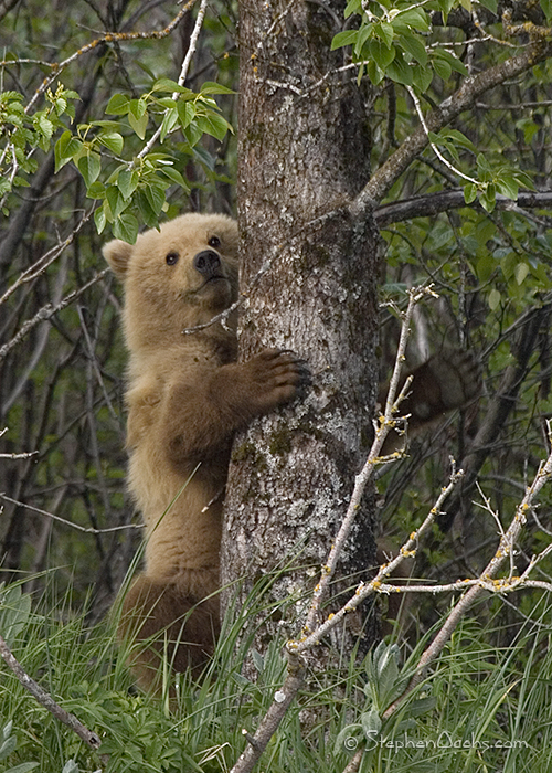 does grizzly bears climb trees best bear 2018